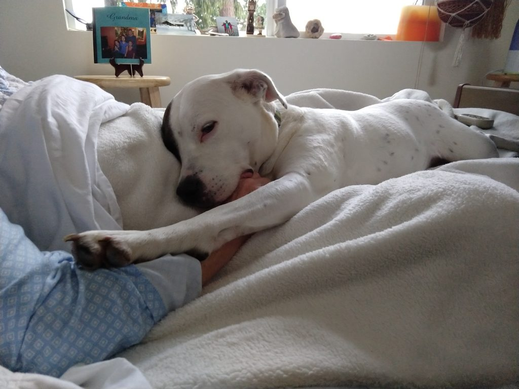 dog, VSED client, bed
