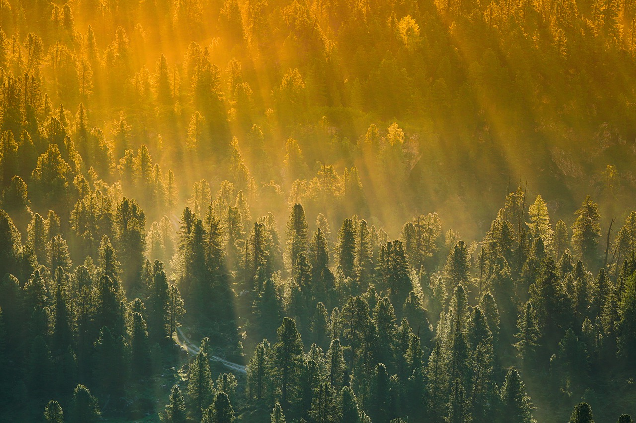 forest, trees, sunset