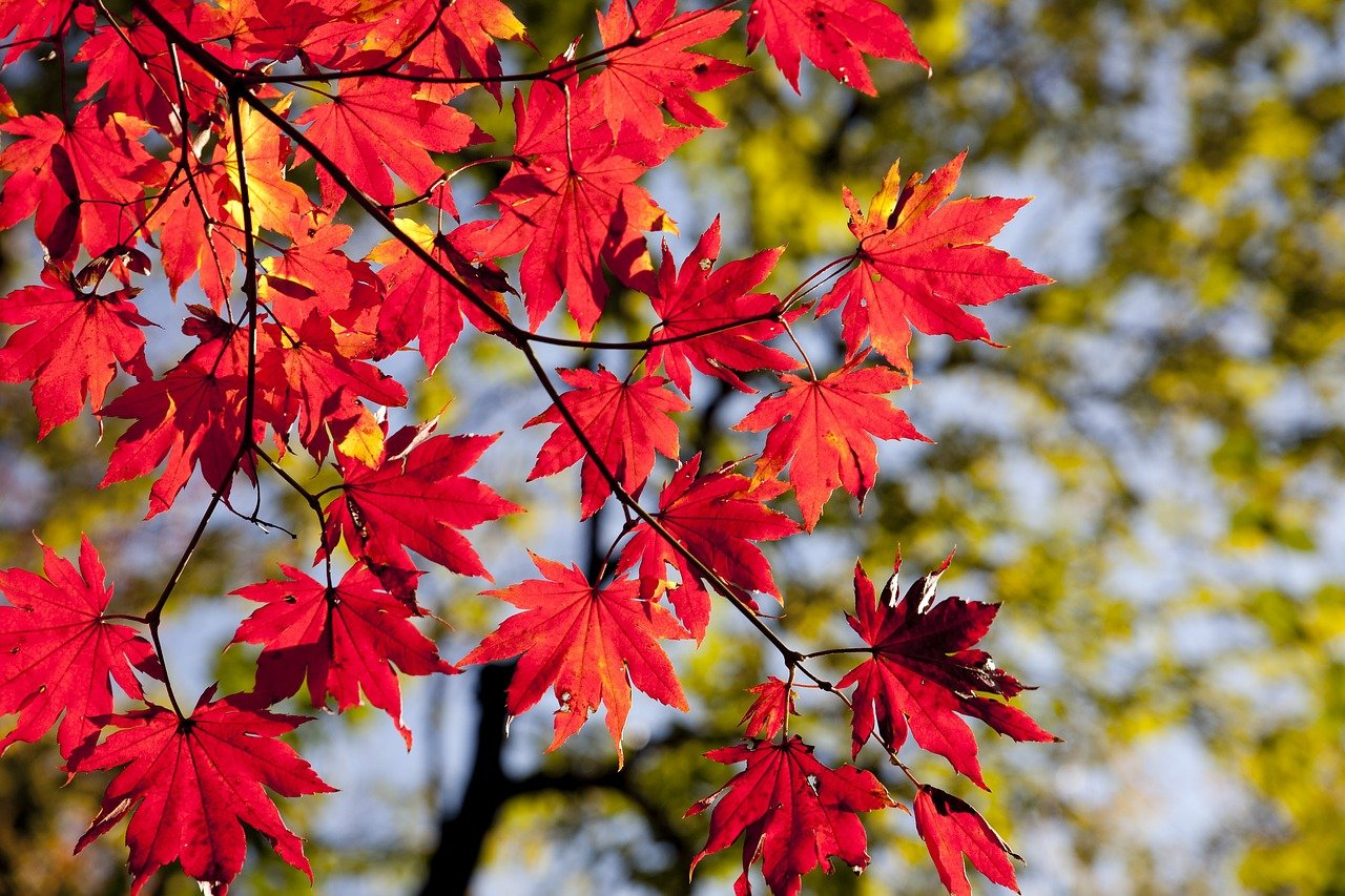 autumn leaves, maple, the leaves